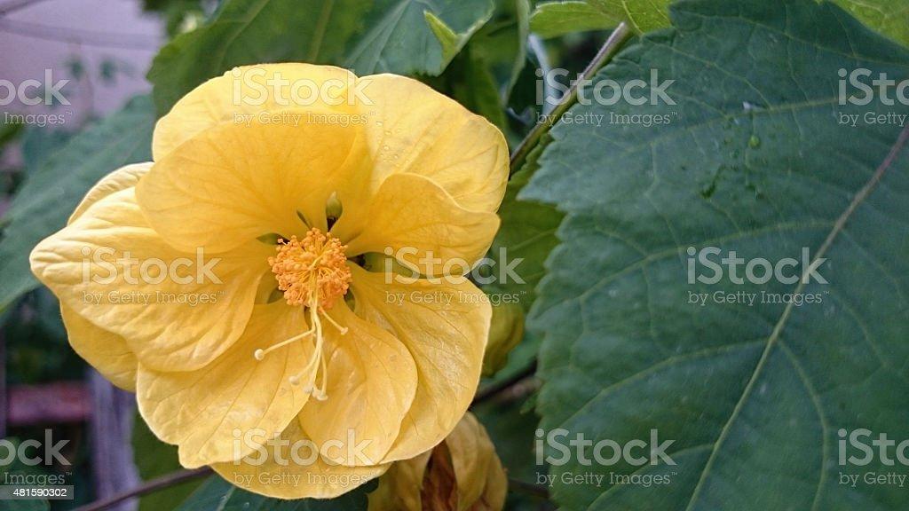 Abutilon hybridum stock photo