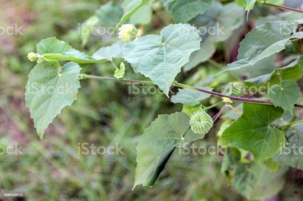 Abutilon indicum (L.) Sweet, Country Mallow in nature. stock photo