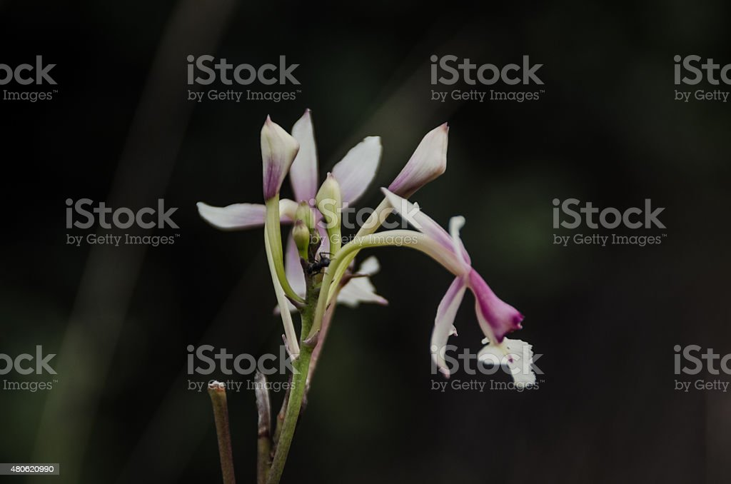 Abysm's white Orchid stock photo