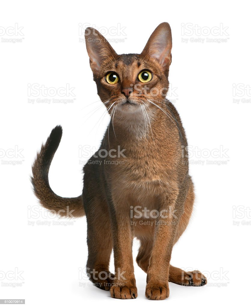 Abyssinian Cat, 14 months old, standing stock photo