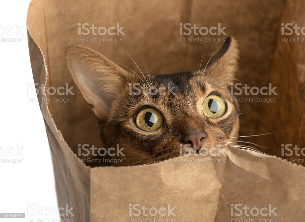 Abyssinian Cat in Bag stock photo