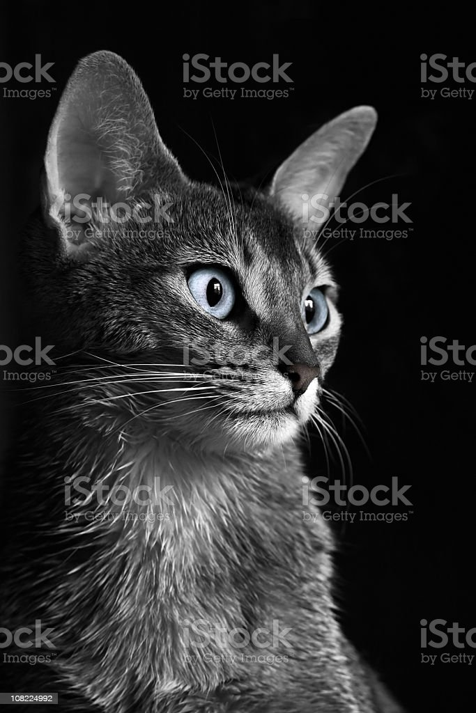 Abyssinian cat in monochrome stock photo