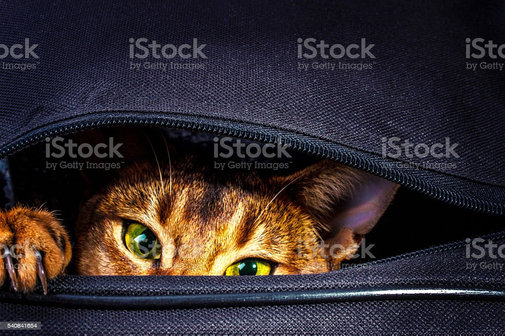 Abyssinian cat in the bag stock photo