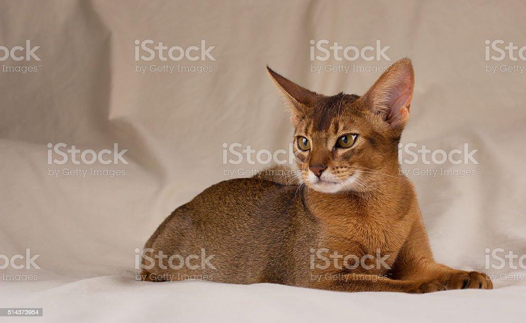 Abyssinian cat lying stock photo
