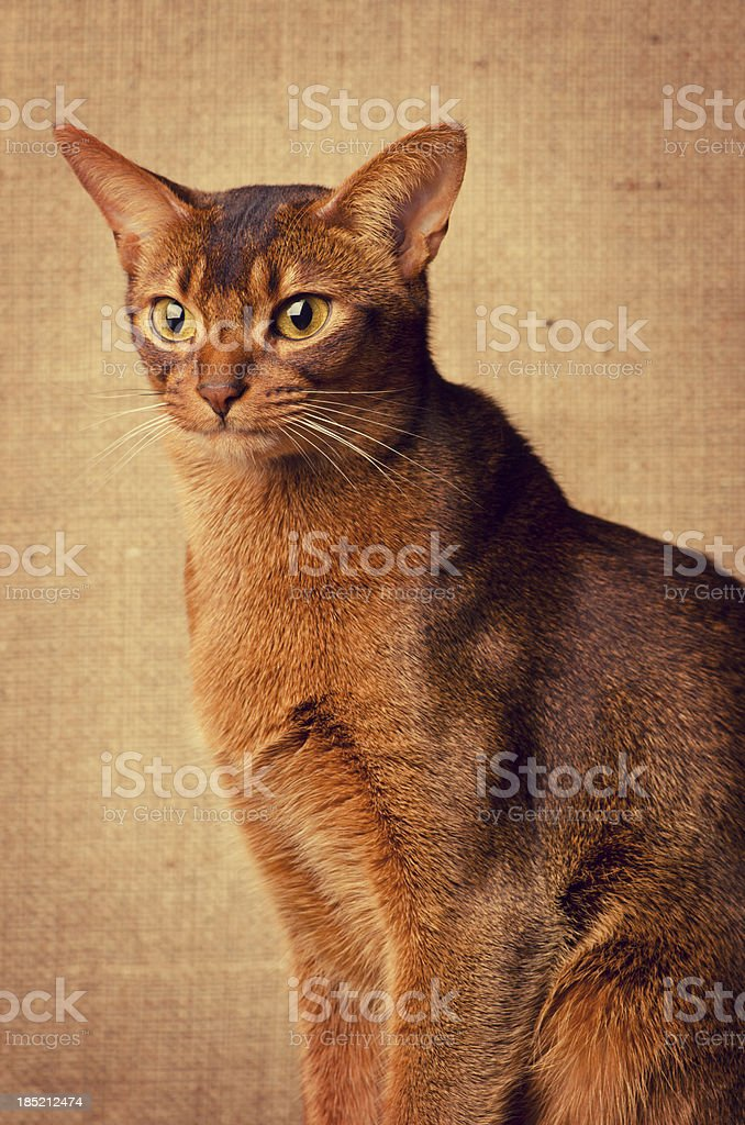 Abyssinian Cat stock photo