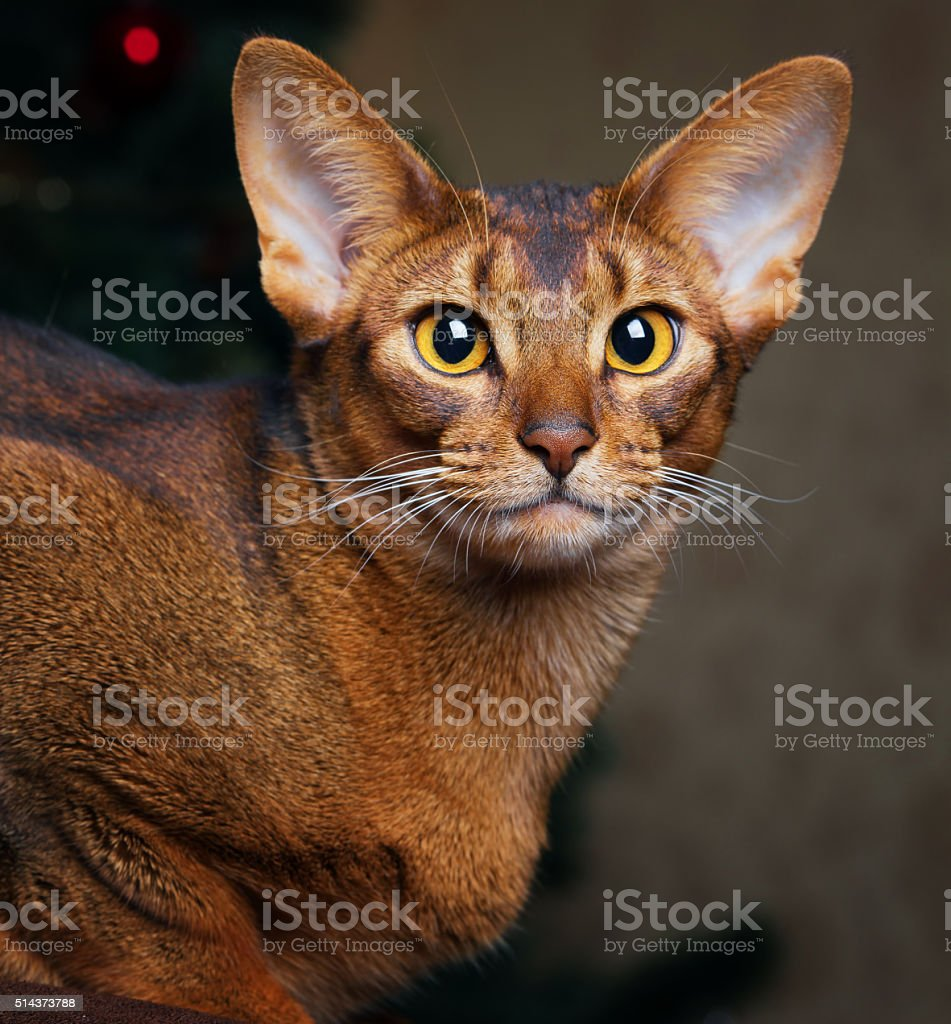 Abyssinian cat portrait in christmas tree background stock photo
