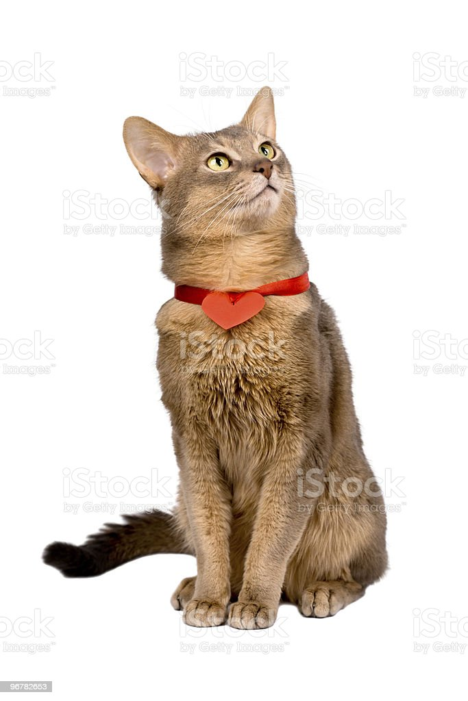 Abyssinian cat wearing red heart on ribbon stock photo