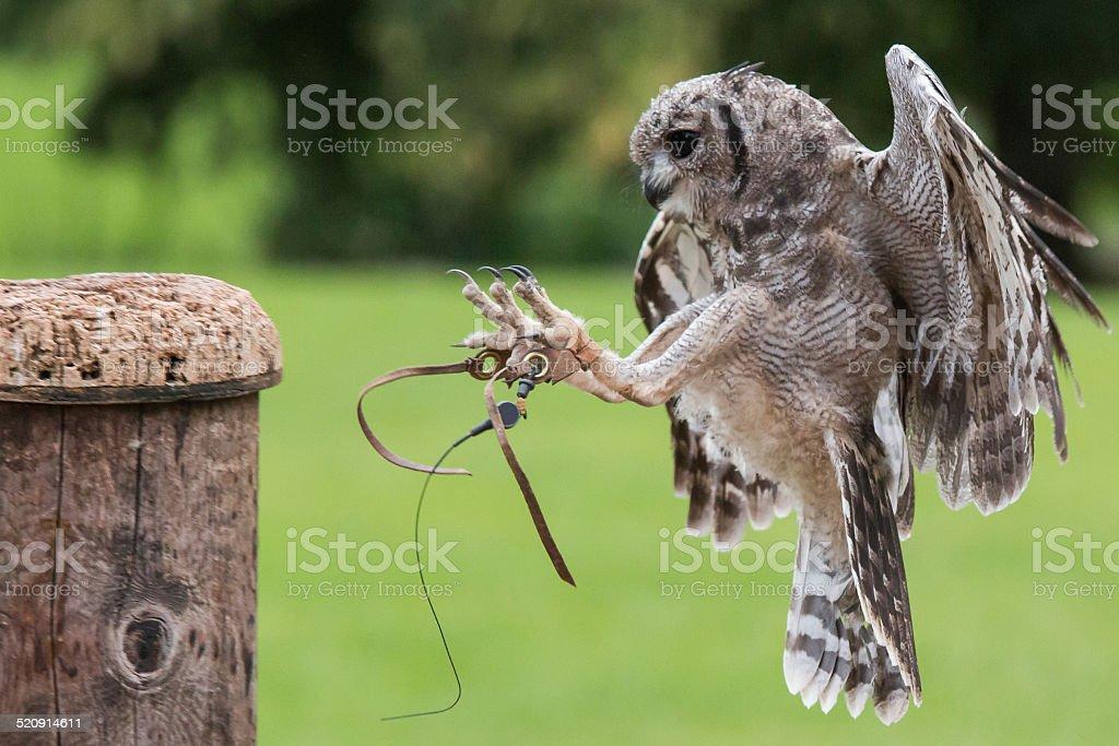 Abyssinian Eagle Owl stock photo
