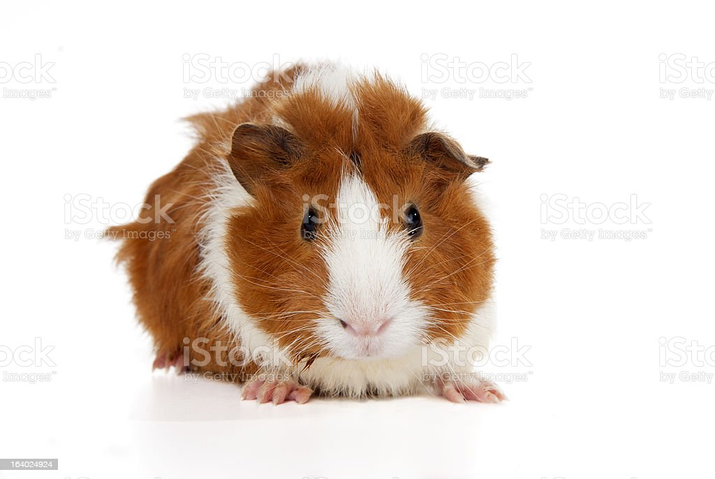 Abyssinian Guinea Pigs (Cavia porcellus) stock photo