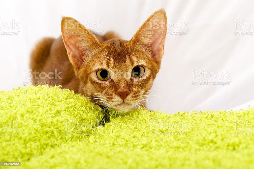 Abyssinian kitten royalty-free stock photo