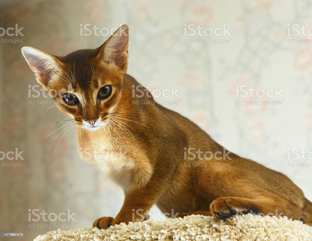 Abyssinian kitten royalty-free stock photo