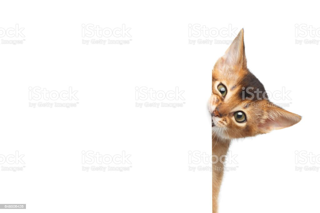 Abyssinian Kitty on Isolated White Background stock photo