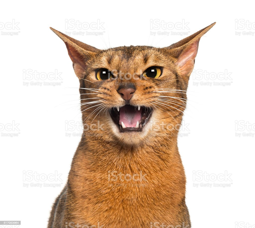 Abyssinian meowing (2 years old), isolated on white stock photo