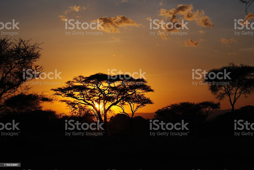Acacia at sunset stock photo