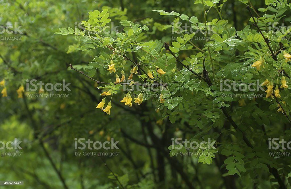 Acacia branch with rain drops and  flowers stock photo