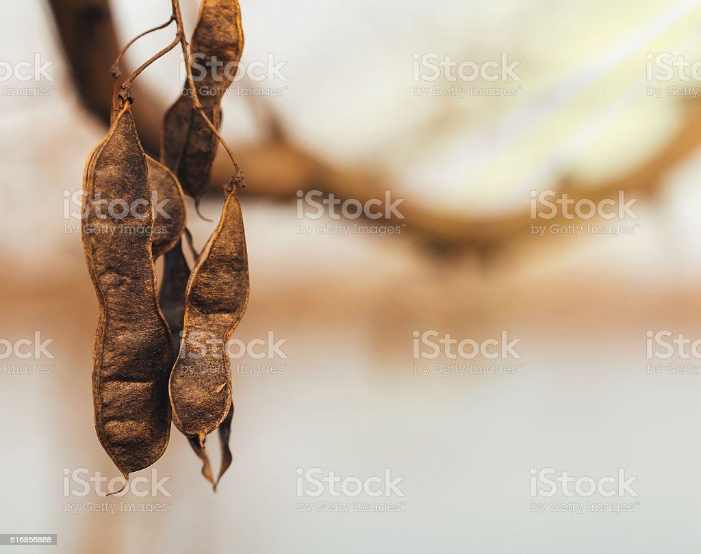 Acacia dried fruit of the setting sun stock photo