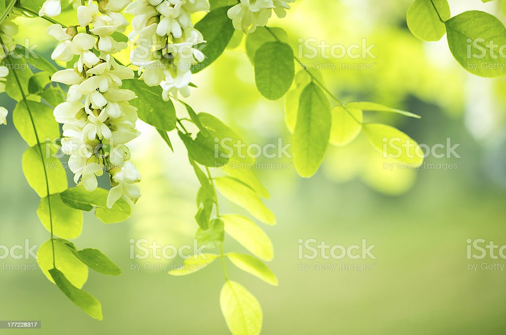 acacia flowers stock photo