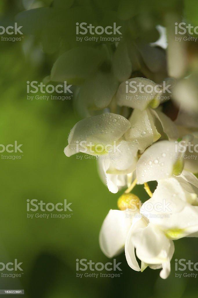 Acacia Flowers With Raindrops stock photo