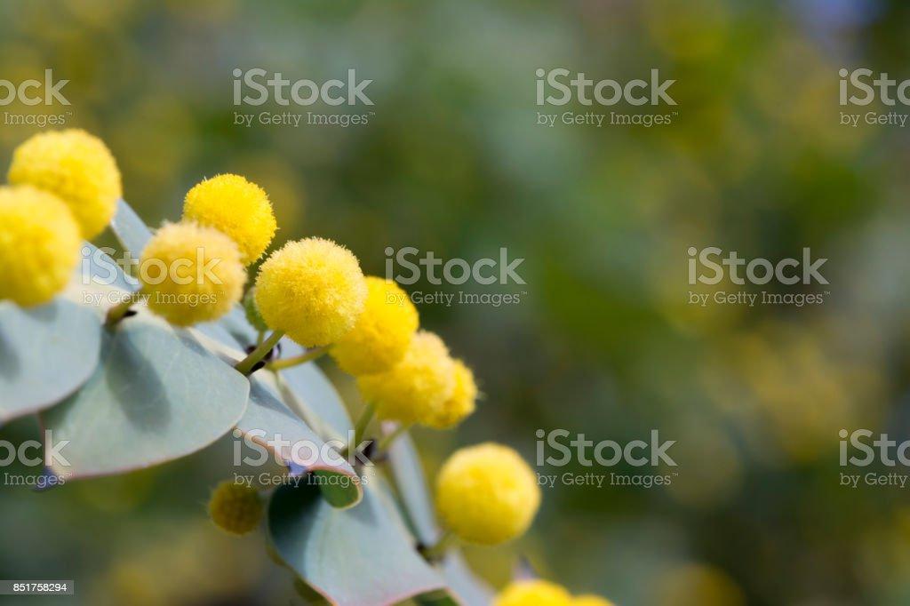 Acacia Glaucoptera (Flat Wattle) Close Up stock photo