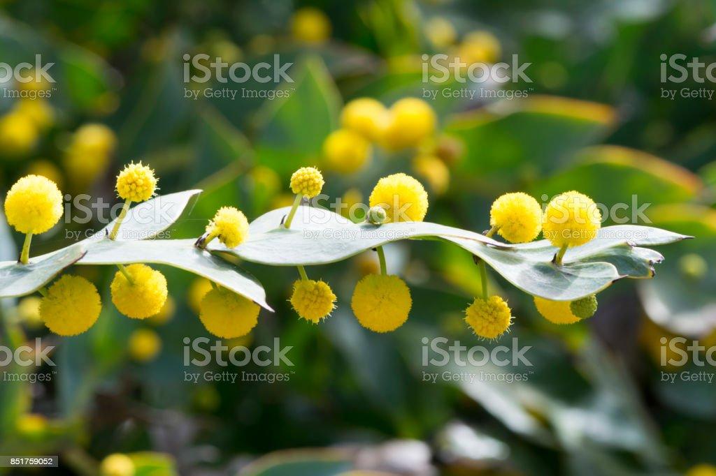Acacia Glaucoptera (Flat Wattle) stock photo