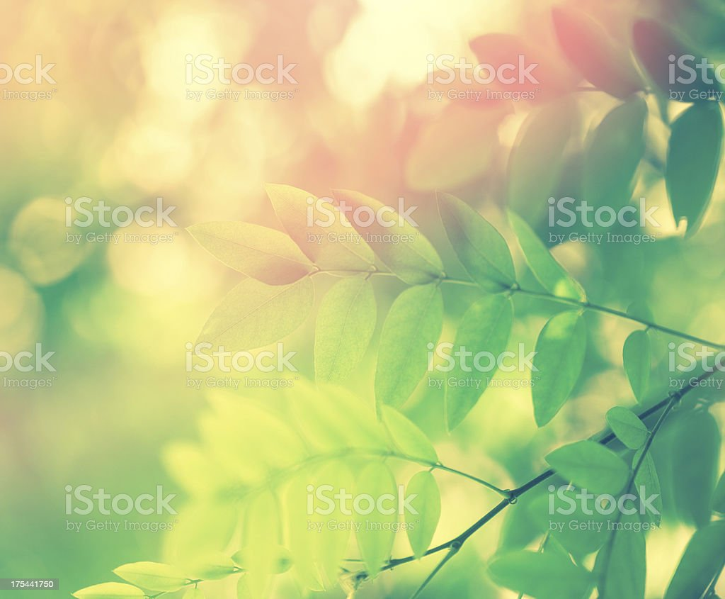 Acacia Leaves stock photo