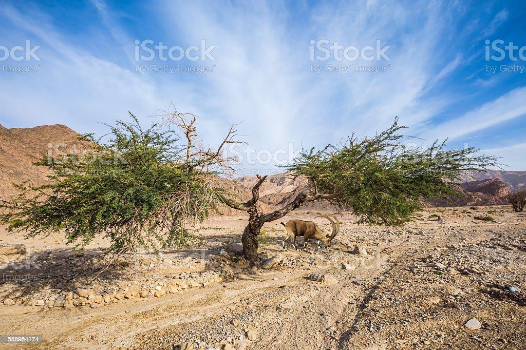 Acacia, lightning split into two parts stock photo