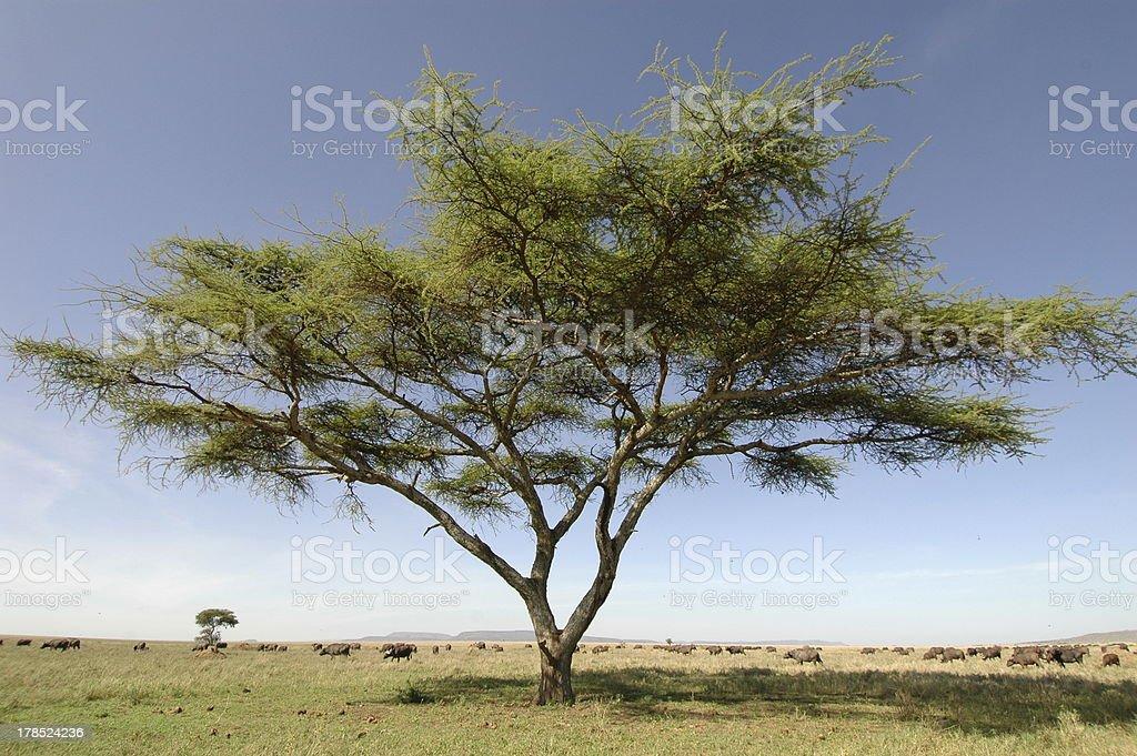 Acacia on Serengeti stock photo