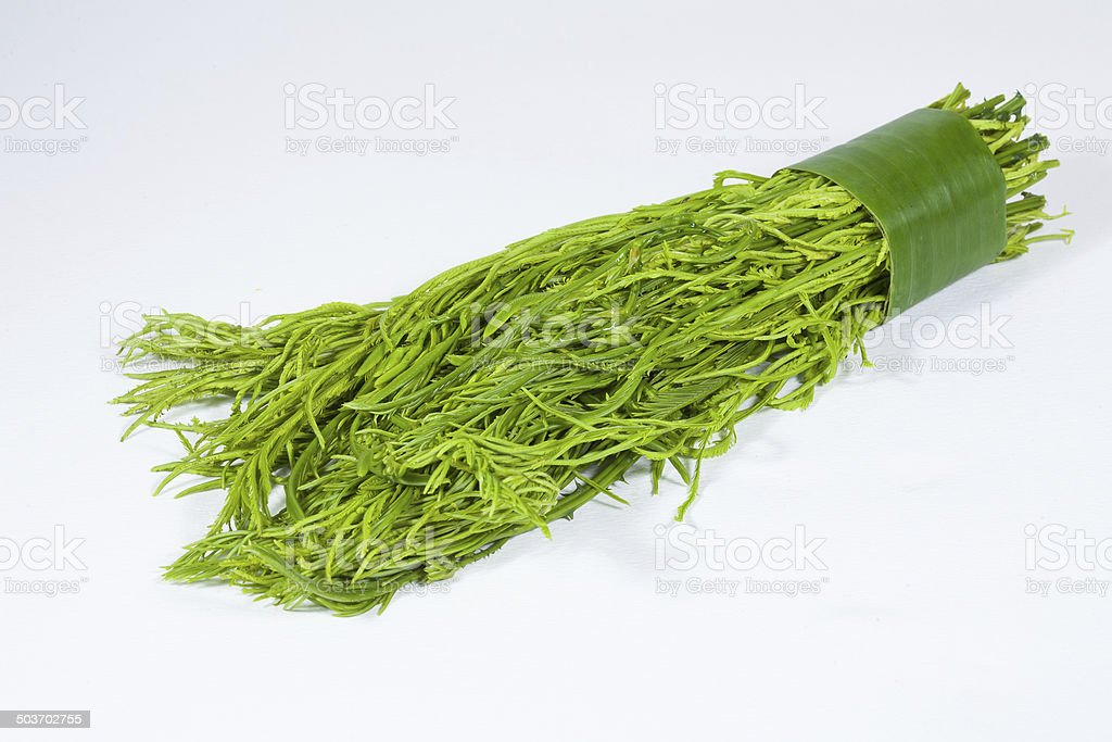 Acacia pennata stock photo