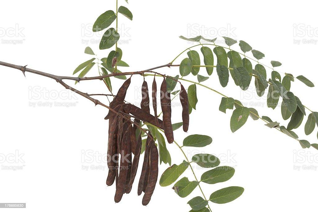 acacia stock photo