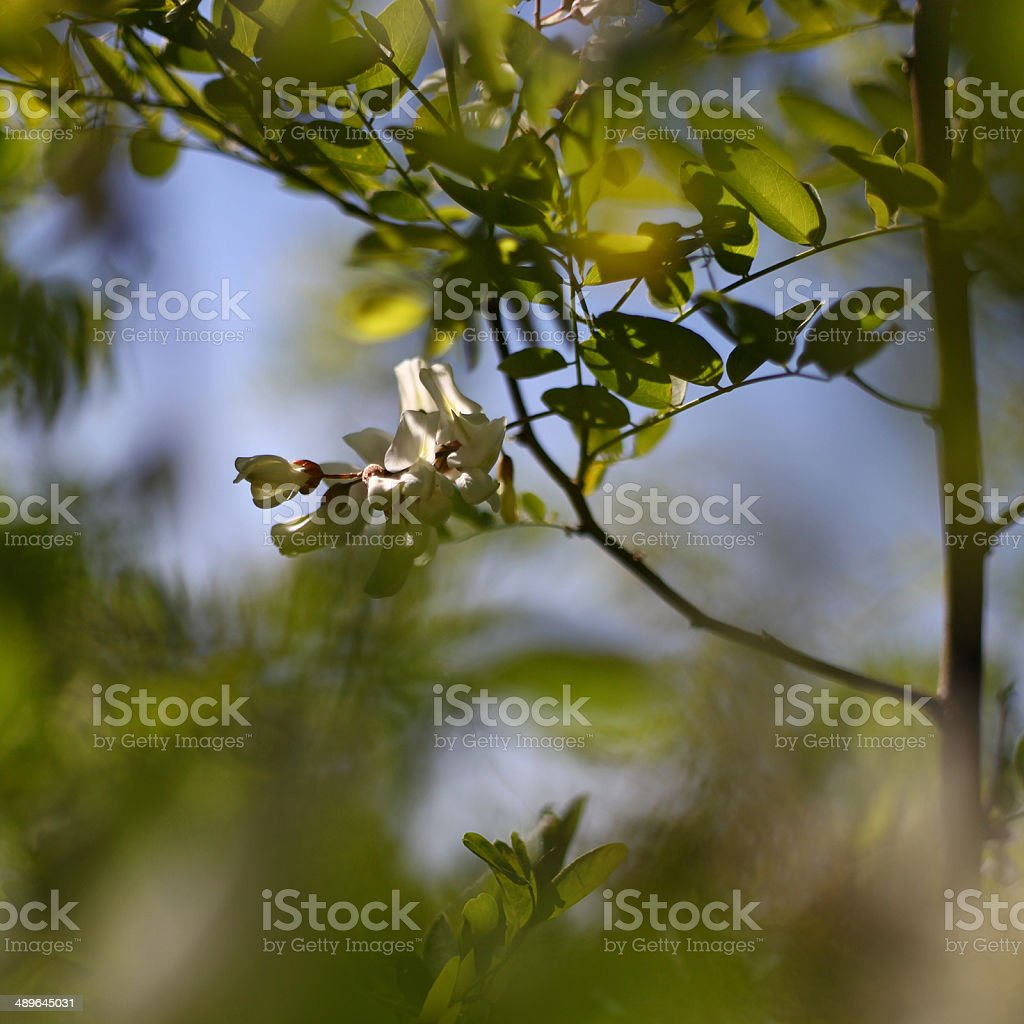 Acacia royalty-free stock photo