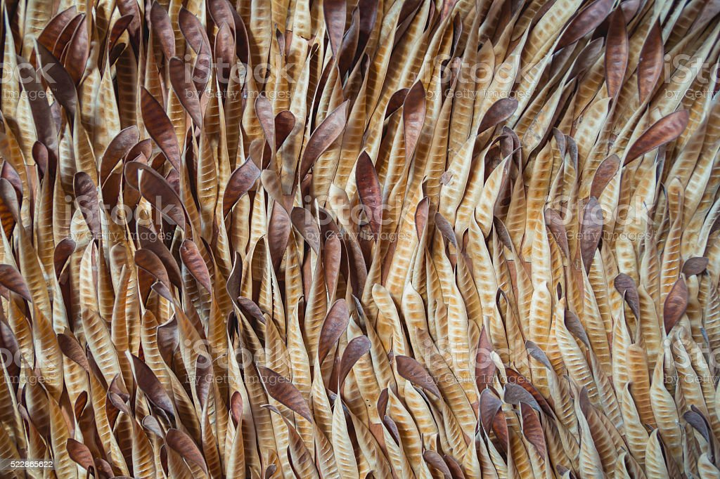 acacia seeds hanging and dry stock photo