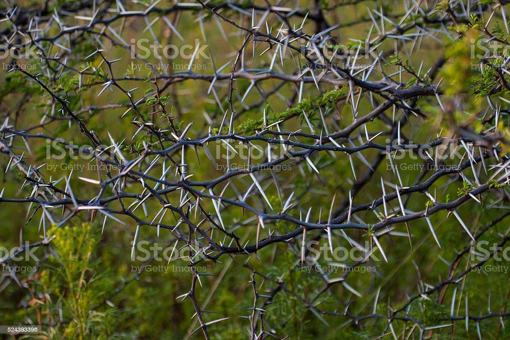 Acacia thorn stock photo