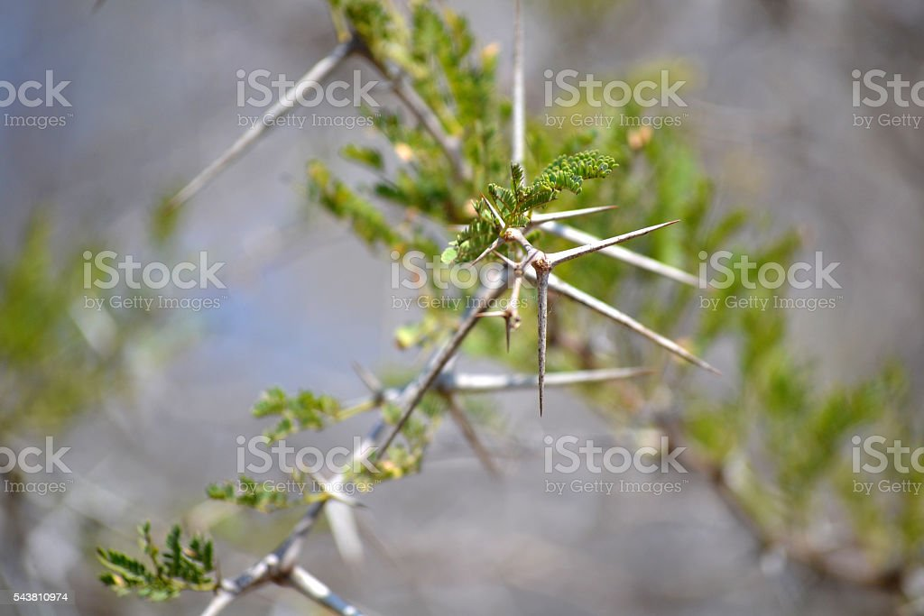 Acacia thorn stock photo