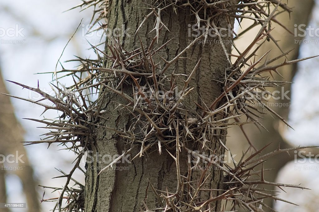 Acacia Thorn Tree stock photo