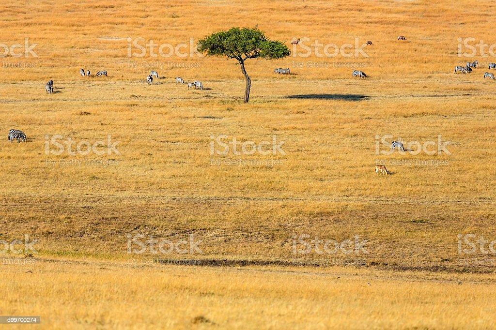 Acacia Tree and shadow in Savannah at Masai Mara stock photo