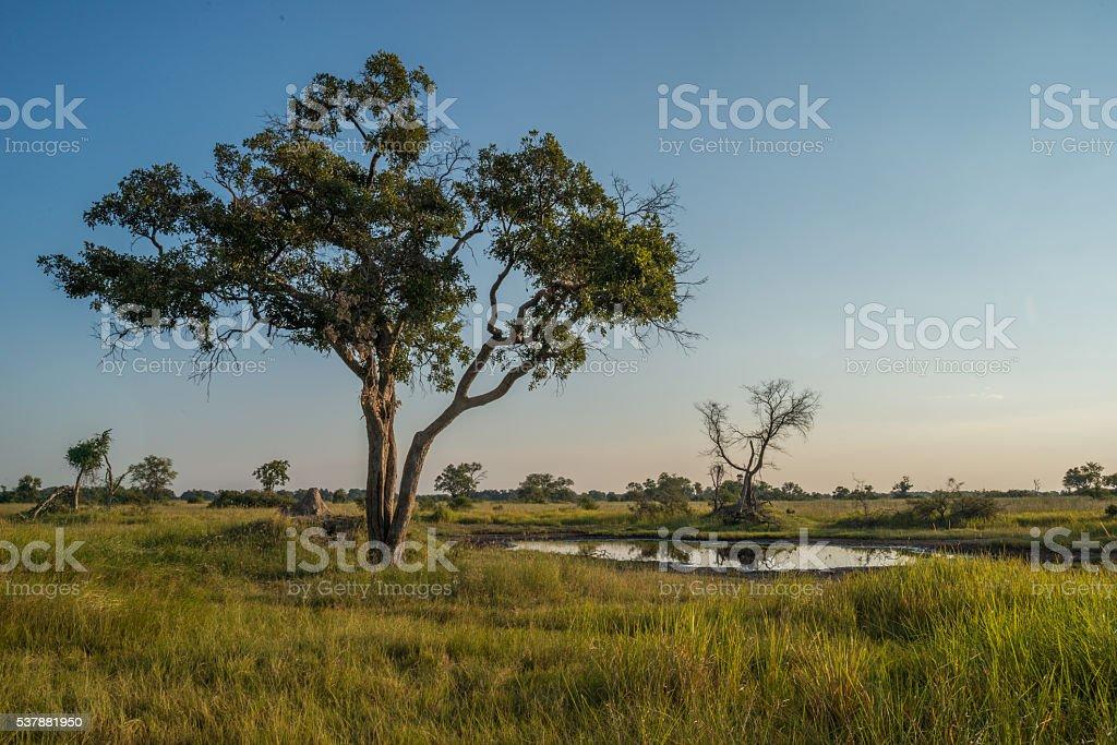 Acacia tree beside water hole at dusk stock photo