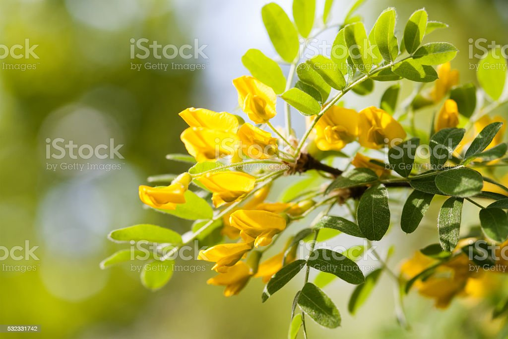 Acacia tree branch with green leaves and yellow flowers. Blooming stock photo
