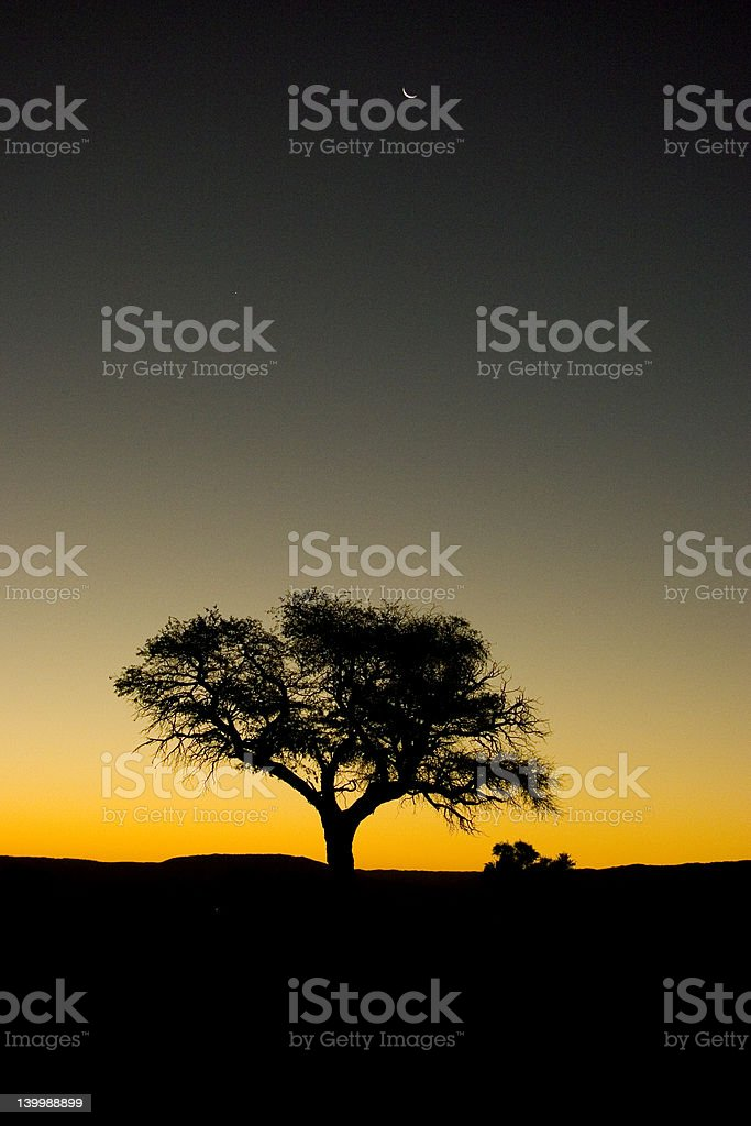 Acacia Tree During Sunset royalty-free stock photo