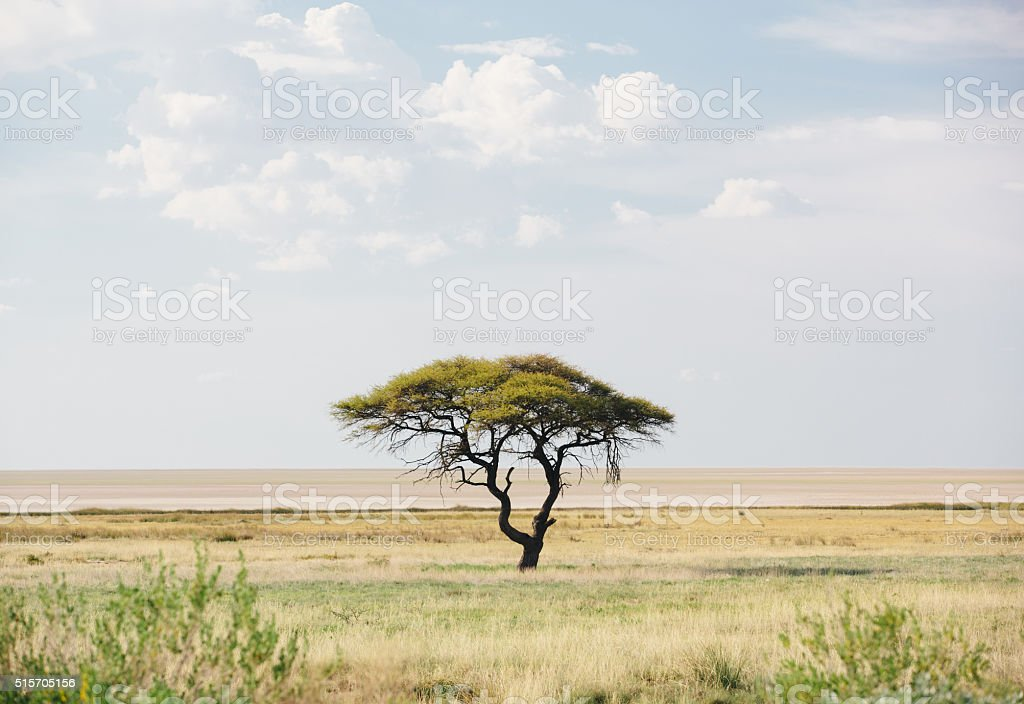 Acacia Tree in Etosha, Namibia stock photo