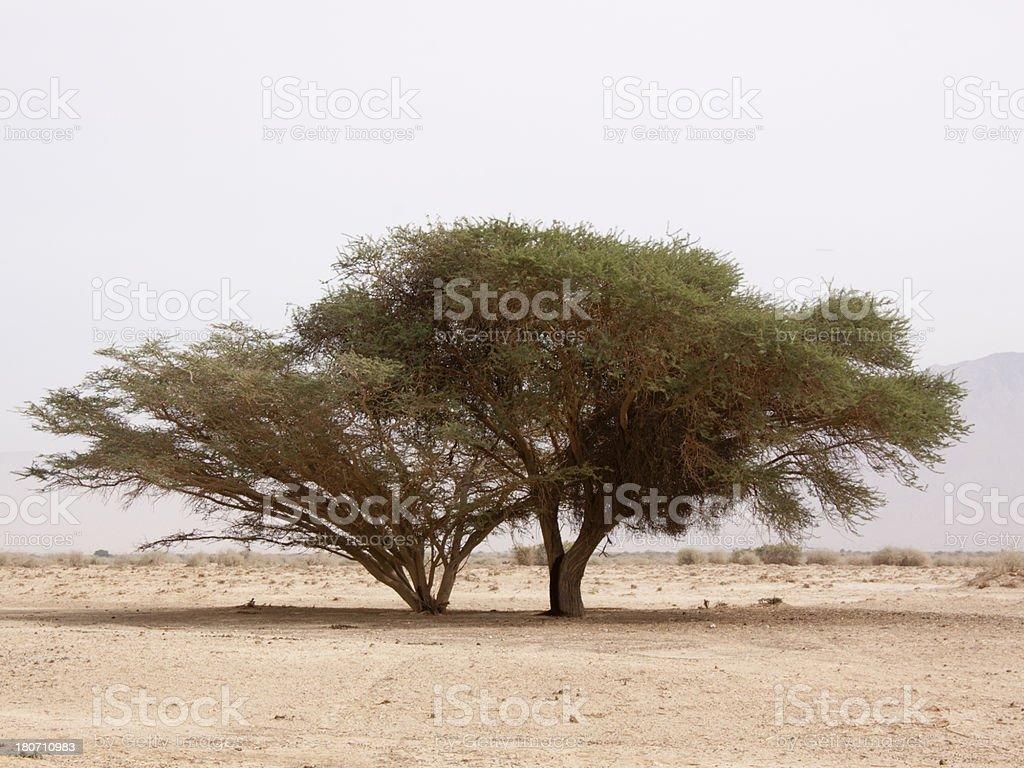 Acacia tree in the desert royalty-free stock photo