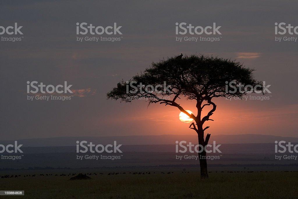 Acacia du Masaï Mara au coucher du soleil photo libre de droits