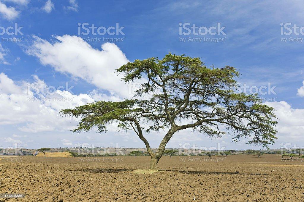 Acacia tree royalty-free stock photo