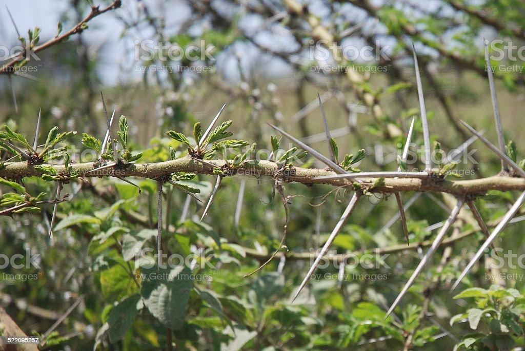 Acacia Tree Thorns royalty-free stock photo