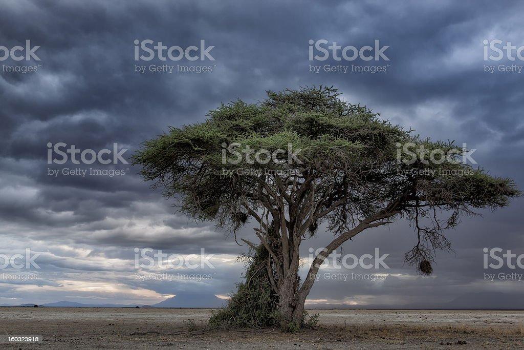Acacia tree with hanging bird nest, Kenya, East Africa stock photo