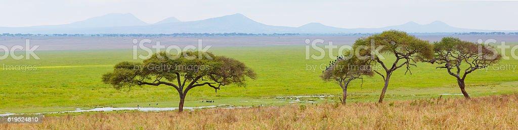 Acacia Trees at Tarangire National Park, Tanzania, Africa stock photo