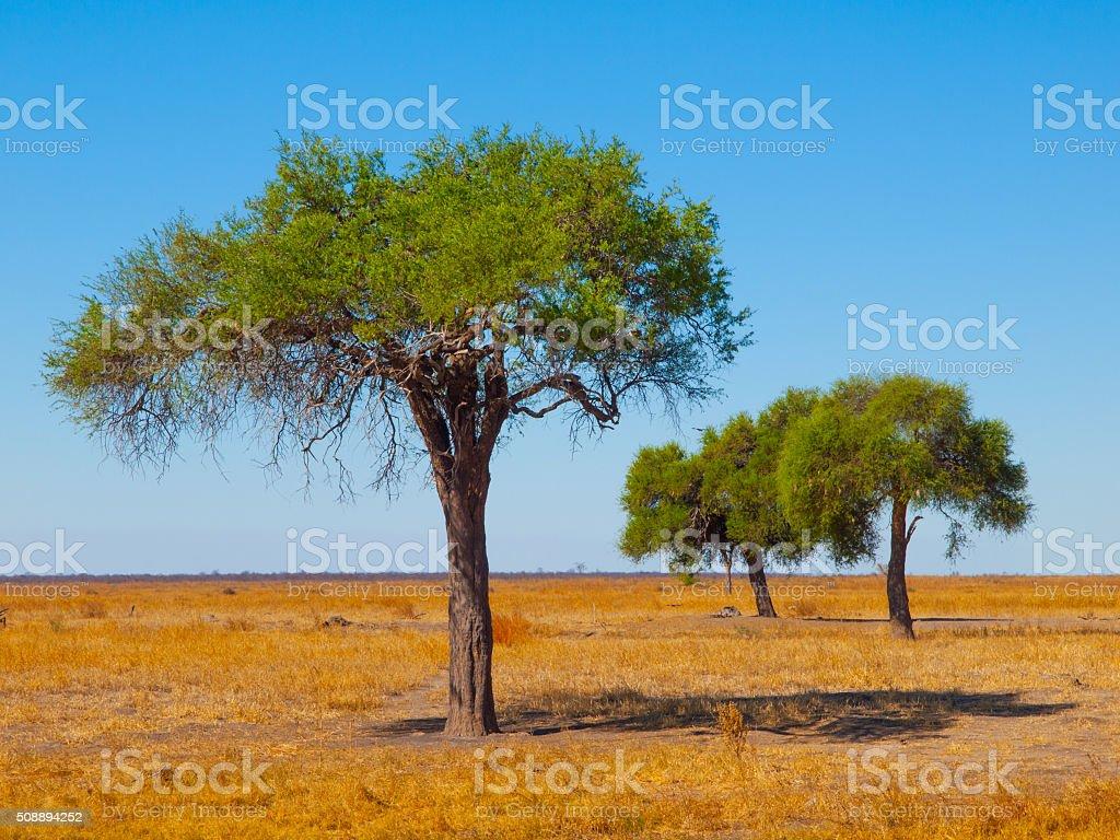 Acacia trees in open african savanna plains stock photo