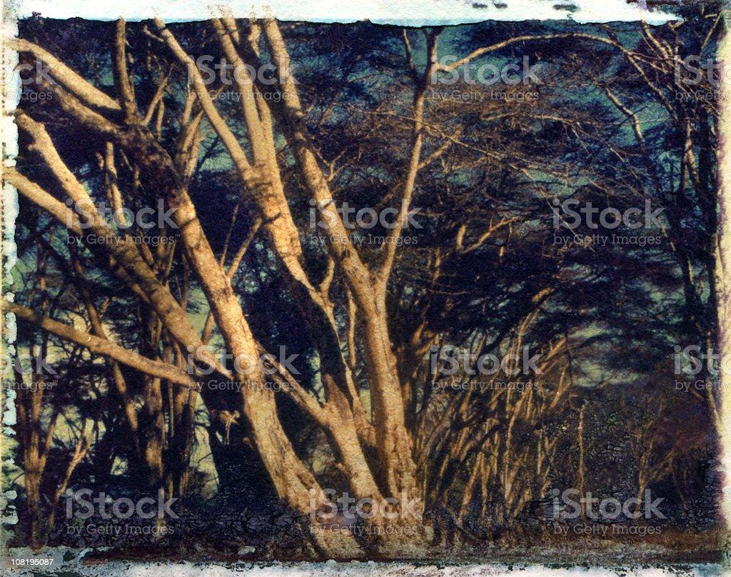 Acacia Trees instant Transfer Image royalty-free stock photo