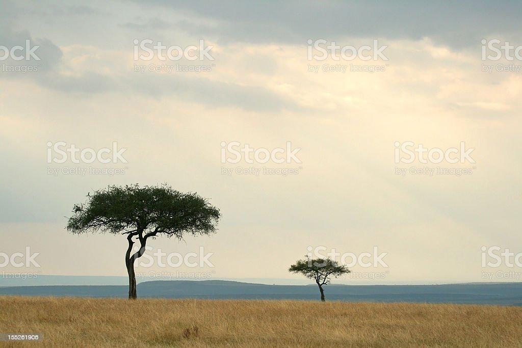 Acacia trees stock photo