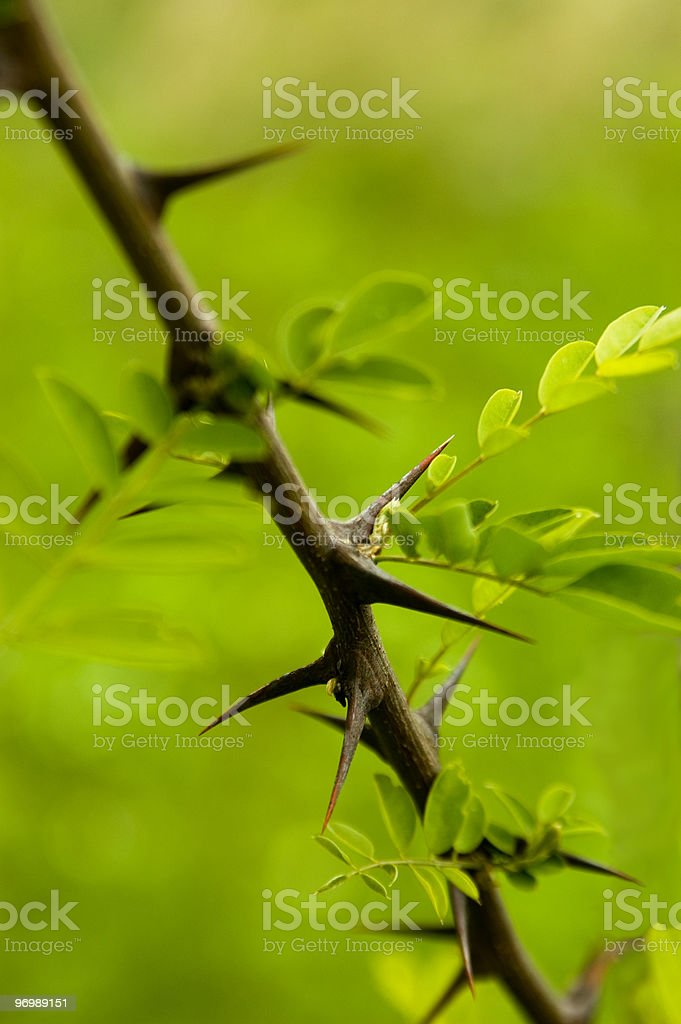 Acacia twig royalty-free stock photo