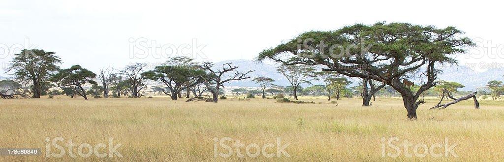 Acacias on th Savannah stock photo